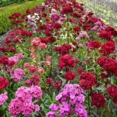Sweet William Roundabout mixed 150 seeds